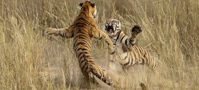 Tiger im Zank: Will keiner der Kontrahenten nachgeben und können sie sich nicht einigen, kann der Streit für beide schmerzhaft ausgehen.
