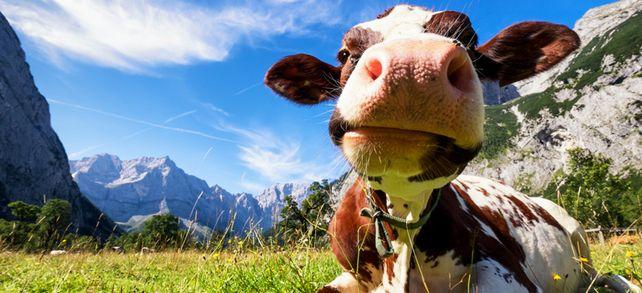Nicht nur diese Kuh in den Alpen ist gut drauf. Auch viele Beschäftigte in Österreich sind zufrieden mit ihrem Job.