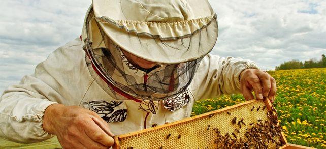 Drastische Entscheidungen: Taugt die Bienenkönigin nichts, wird sie zerquetscht und ersetzt.