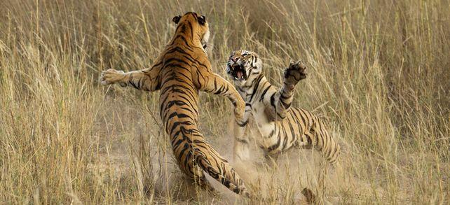 Tiger im Zank: Will keiner der Kontrahenten nachgeben und können sie sich nicht einigen, kann der Streit für beide schmerzhaft ausgeben.